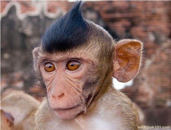 monkey-with-funny-hairstyle